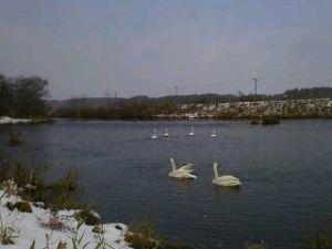 お友達になって下さい。 ぱんださん…今晩わ…寒いですよ! 近くの川に、白鳥が到来で~す。 いよい
