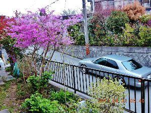 出来るうちに畑仕事をしたい  山躑躅咲く陋屋の庭、向かいの坂道には大型車が夜間常駐。7時過ぎになるとブーンガロゴロとエンジン吹か
