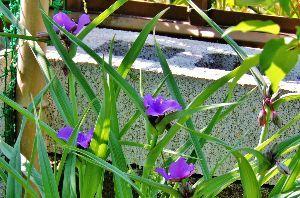 出来るうちに畑仕事をしたい     ぼくの知らぬ間に、オオムラサキツユクサがひっそりと咲いておりましたばい、ふうー!