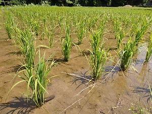 出来るうちに畑仕事をしたい 〇島根県では、稲が青々としていました。