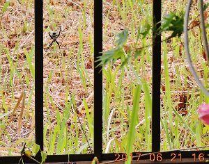 出来るうちに畑仕事をしたい    北九州にも雨が降ってよかったですね。   >此の蜘蛛、こがね蜘蛛と言うんだと思います。私の田舎