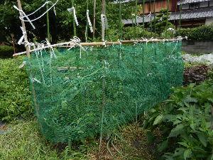 出来るうちに畑仕事をしたい これは、台風5号直前の ミニトマトです。全てのミニトマトが全部右上へ登っています。 台風でへたりまし