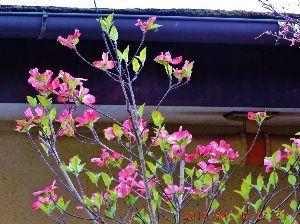 出来るうちに畑仕事をしたい   うちの庭にハナミズキが咲きました。道行く人も横目で眺めてくれています。   ハナミズキの由来は、