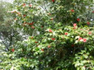 出来るうちに畑仕事をしたい 紅葉紅葉は、春も夏も赤いのですね。   うちの現在の赤は、ヤブツバキです。 前回紹介した時よりも、花
