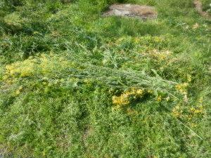 出来るうちに畑仕事をしたい 耕作放棄地の草刈りをしました。 今回のターゲットは、草全てではありません。  野生化したり、交雑した