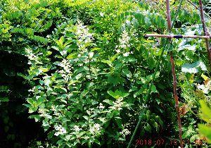 出来るうちに畑仕事をしたい   >畑のそば(私の畑ではありません)に白い花が咲いています。   これは芙蓉の花じゃあなかと?