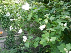 出来るうちに畑仕事をしたい [白い花]   畑のそば(私の畑ではありません)に白い花が咲いています。  夏が来ましたね。   昨