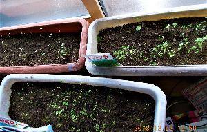 出来るうちに畑仕事をしたい   室内のプランターに野菜が芽生えました。これから間引きしますが、丈夫に育つでしょうか?    神戸