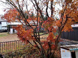 出来るうちに畑仕事をしたい   うわー奇麗な紅葉! 東京はいいなあ、塩害もなく。   関西はこれでもか、これでもかという具合に次