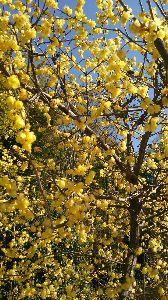 おやじギャグ カーナお姉さんは黄色の梅が大好きです。  、、、 好きなんだから! 好きなんだから! 大好きなんだか