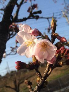 40代のページャー挑戦!! 桜咲いたけど、、寒いね。
