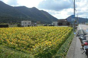 バイク好き「大人の遠足~」関西発 20日 加美区での ひまわり畑。