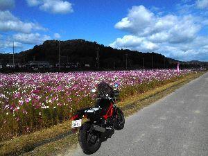 バイク好き「大人の遠足~」関西発 同日 滝野(播磨中央公園近く)のコスモス畑。