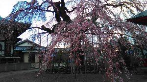 アラ還以上の方々とお話ししたいな。男女共に~ さっき見てきたお寺の枝下れ桜です。