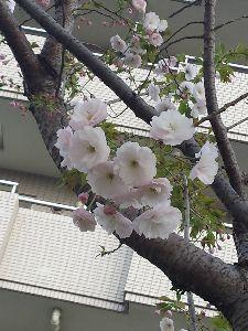 不思議ワールドへ ようこそ~♪ 元気にしてた~✌ 今日は、暑くなりそうですよ🎵 こちらも昨日のソメイヨシノの発祥地駒込にて。 八重桜