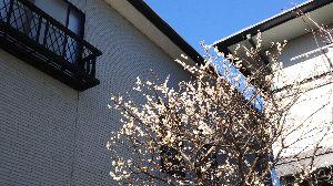 ダイエット仲間募集! こんにちわ!  先日の迎賓館見学と湯島天神の花見、お世話になりました。  我が家の梅の木にも、昨日メ