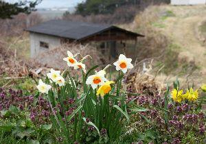 羽後の国から 北羽地方は桜は未だ咲きません 水仙が盛りです