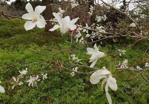 羽後の国から こぶし咲く北国の春♪