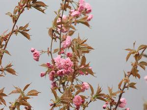 羽後の国から 八重桜が咲きました