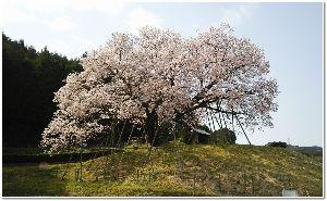 平日昼間の楽しい会話、奥様方へ ぼらんさん みんなぁ~~^  春爛漫だよ 桜も今日明日でしょうね~ あちこちお花見で賑わう事でしょう