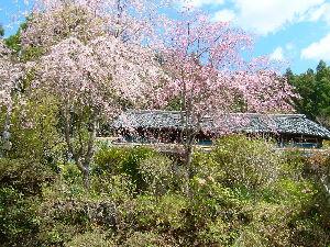 遠江国亀久保村長郷(周智郡森町亀久保497) 隣家の桜が満開です、花の色は移ろいにけりな我が御世に降る眺めせしまに。