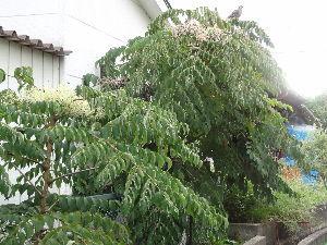 酒好きさん!!大集合♪ 秋です Ⅱ  何年か前に里山から取ってきたタラの木の幼木。 事務所の横で順調に育ち、今やモンスター。