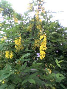 週末里山暮らしは大忙し 花はきんぐさり・ゴールデンチェーン  台風が2日後には影響が出てくるそうですが、九州は柿の新緑がまぶ