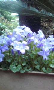 週末里山暮らしは大忙し 花はアメリカンブルー  保存料、着色料などの添加物がいやで生ハム、ベーコン、ハムは試行錯誤 しながら