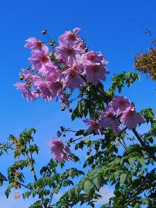 落ちこぼれ集まれ・・・・  晩秋に為って「行程ペンギンの花」が綺麗ですよ~ん、青空と薄紫色の花が何とも  ええ加減❔にバッチグ