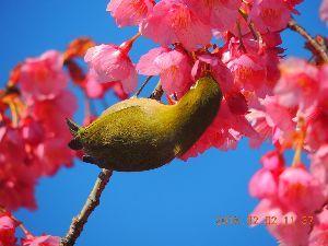 落ちこぼれ集まれ・・・・  春がそこ迄来て居るよ~ん、冬櫻が満開で「目白の真紀子」が蜜を吸って居ました(笑)。