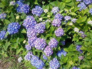 落ちこぼれ集まれ・・・・ 雨不足で紫陽花の色合いが悪いです。 九州の雨少し頂きたいです。
