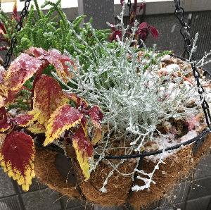 Natural-garden 2016,11,24。この日11月に珍しく雪が降った。この時期に降るのは50年ぶりとか。 そりゃ珍し