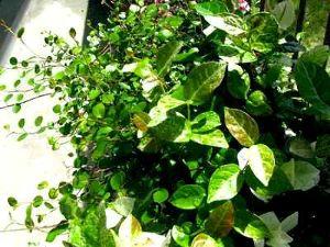 花しおり 【ハツユキカズラ】 我が家の ハツユキカズラが元気です。  夏の猛暑にも 冬の厳しい寒さにも耐えて・