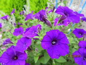 花しおり あちこちで激しい雨が降ったりで関東から東北は大荒れですね。 こちらの方は大雨は無くて被害が出ていませ