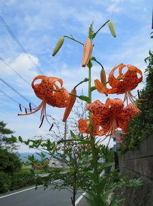 花しおり しおり地区でも暑くなりました。 梅雨明けのような感じですがまだ気象庁からは発表がないですね。 もう梅