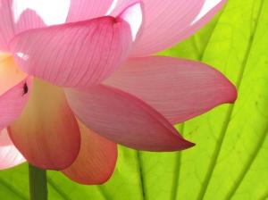 花しおり 【蓮】 朝に開花し、昼には閉じる 開花から4日めに花びらが散る(不思議♪)。  淡紅色に心が和らぐ&