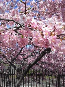'どこにもない場所' 京阪沿線の淀に、河津桜が満開だというので観に行ってきました。 濃いめのピンクの花が一斉に咲きそろい、