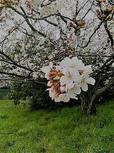 冠状動脈れん縮型狭心症 今日は 花曇りでした 青空に桜は一番なのでしょうが 春霞の様な 一日でした 風もなく とても穏やかで