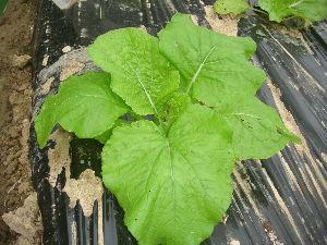 家庭菜園 始めました ^^v 【白菜】  順調に育ってるようです^^v   ずいぶん大きくなりました 収穫できるまでは まだまだ先