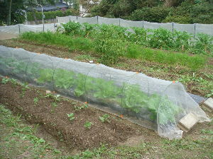 家庭菜園 始めました ^^v 【順調?】  猫の額の。。畑  なのに 大根は多すぎじゃ??  我が家は二人だけの生活なのに・・・ア