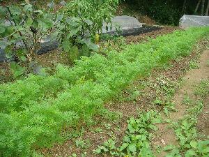家庭菜園 始めました ^^v 【人参も】   ずいぶん葉が伸びてきました^^v    まだまだ間引きはしてません  ちょっと込み合