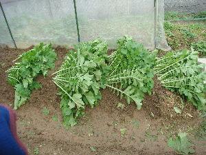 家庭菜園 始めました ^^v 【貯蔵】  やっぱ 多すぎなので・・・  畑に貯蔵。。。  畑を掘って大根を首まで埋めちゃいます^^