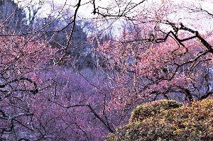 60歳になりました♪ 昨年の今頃は、蝋梅は終了し、紅白の梅が5-7分咲きだったのですが、今年は未だに2分咲き程で、蝋梅は終