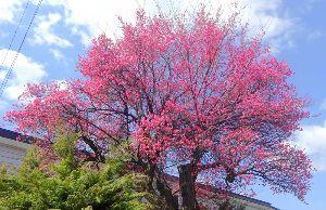 60歳になりました♪ 4号線沿いの旧桜山入口の梅の花が 気が付かない内に満開です♪ ここが盛岡では一番(?)早く咲く梅です