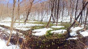 60歳になりました♪ 小岩井の水芭蕉が新聞に掲載されていたので 春子谷地へ水芭蕉を見に行って来ました  例年より雪が沢山あ