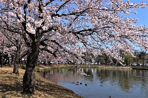 60歳になりました♪ 3月の最終日、市場の隣に在る公園で桜見物です。 既に散り始めていました。 この週末が桜花見の見納めで
