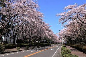 60歳になりました♪ 31日、農林水産省構内の桜見物です。 国の研究施設だけあって、その敷地は広大です。 土壌から食料まで
