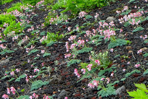 60歳になりました♪ 岩手山のコマクサ群生を見に行って来ました. コマクサ群生が日本一の規模と言われるにふさわしく素晴らし