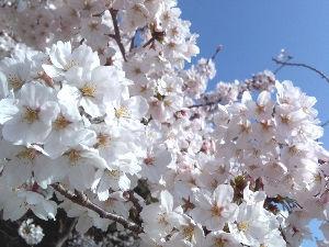 明石あたりの・・・(笑)Part.2 どうも皆様。こんにちは。(^^) 今朝も明石公園に散歩に行ってきました。 いやぁ~やっぱり桜満開の中