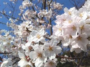 明石あたりの・・・(笑)Part.2 どうも皆様。こんにちは。(^^) 昨日は暑いぐらいだったので桜の開花も随分すすんでるだろうと思って
